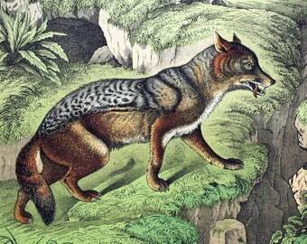 Antique Print of Foxes and Jackals - 1889 Antique Double Plate Chromolithograph
