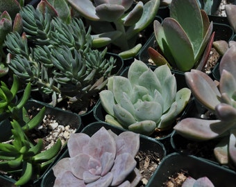 50 Wedding Favor Centerpieces Decorations Succulent Plants Flowers Gifts Bouquets