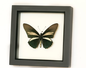 Framed Butterflies in Museum Shadowbox Batwing Insect