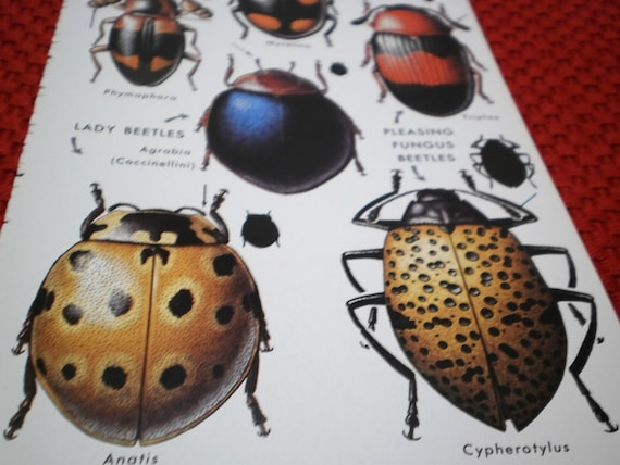 2 Beetles Insects Plates Scientific Prints Scrab Bugs Vintage Book Illustrations for Mixed Media, Altered Art or Walls, Bees Flies Bugs