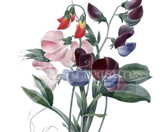 Vintage French Sweet Peas Clipart: High Resolution Printable Artwork, Commercial Use - Image No. R25 Instant Download