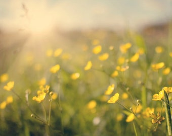 Nature Photography Summer photo wall art home decor yellow flowers, citrine, sunflare, sun, buttercups, glowing, green, bright, gold golden