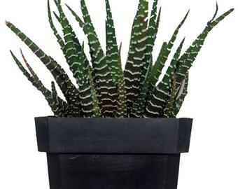 Zebra Haworthia Fasciata -  Aloe Succulent Plant