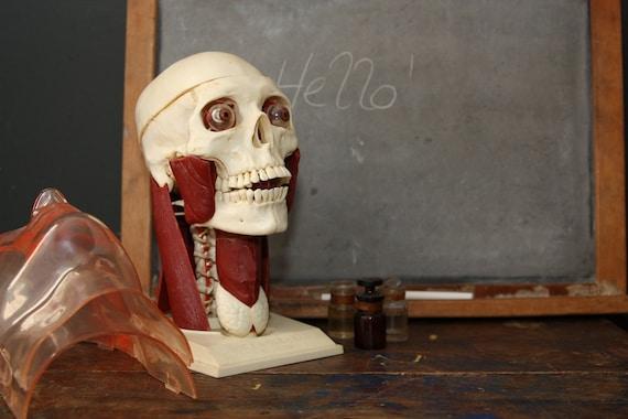 Anatomical Skull / Vintage 1960s Renwal Visible Head