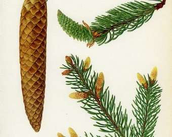 Vintage Tree Print, Common or Norway Spruce, Christmas Tree, Botanical Book Plate 31, Nature Art, Landscape, 1969 Choc