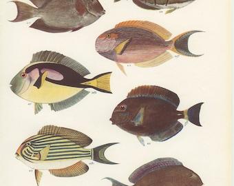 Vintage Fish Print, 1950, Surgeon Fish, Margaret Smith, Ichthyology (33)