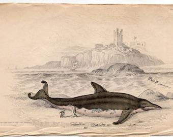 1837 ANTIQUE DOLPHIN ENGRAVING original antique sea life ocean print - breda dolphin