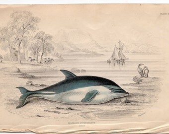 1837 ANTIQUE DOLPHIN ENGRAVING original antique sea life ocean print - Delphinus superciliosus