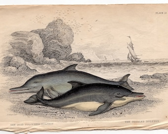 1837 ANTIQUE DOLPHIN ENGRAVING original antique sea life ocean print - lead colored &  bridled dolphins