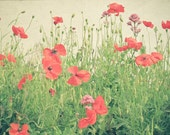Sea of Red - Flower photograph, poppies, nature photograph, red and green, sacrlet, summer home decor