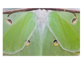 Luna Moth Detail