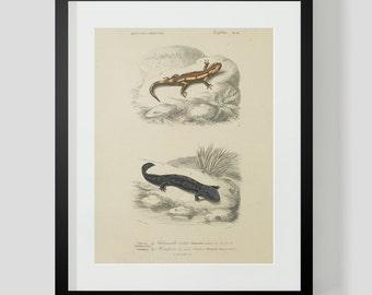 Vintage Amphibian Salamander Plate 18