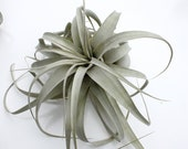 Tillandsia Xerographica Medium