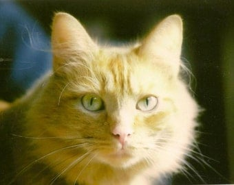 Ginger Cat Photo ~ Ginger Cat in the Sunlight - Pale Green Cats Eyes Animal Photography on Blank Note Card - All Occasion Card B3G1F