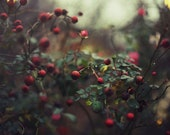 Red Berries and Raindrops - 8x12 Fine Art Photograph