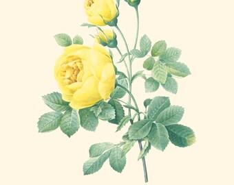 Vintage Yellow Rose Print 8x10 P205