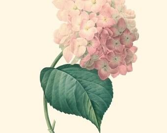 Vintage Pink Peach Hydrangea Flower Print 8x10 P215