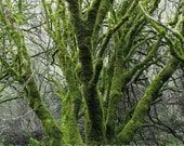 Nature Photography, California, Muir Woods, Redwoods, Landscape Photography, State Park, Green, 8x10, Fine Art Photography
