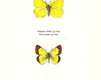 BUTTERFLY PRINT Art Original 1965 Book Plate 104 Beautiful Brimstone and Apline Clouded Yellow Butterflies Summer Flower Garden Nature