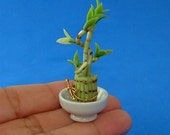 Lucky Bamboo Plant Dollhouse 1/12 Scale