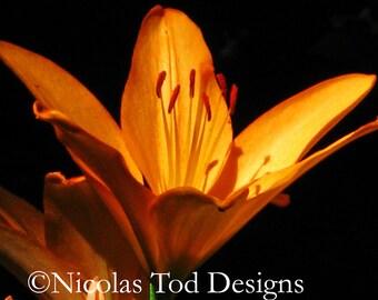 Glowing Orange Lily 8x10 photo