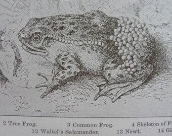 Amphibia lithograph - Original-1911 -Sepia-Encyclopedia page