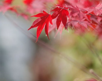 Nature, Red, Green, Tree, Japanese Maple, Earth Tones - - Fine Art Photography Giclee Print / Home Decor, Wall Art WEEKEND