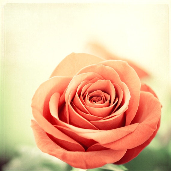 Flower Photography red rose floral nature salmon coral rust