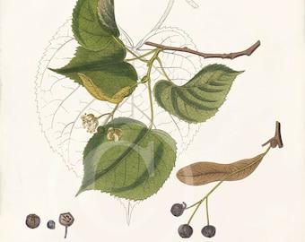 Vintage Botanical Print - Tilia Grandifolia - Large-Leafed Lime - Natural History