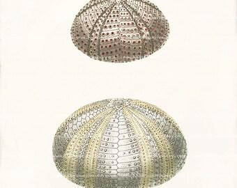 Antique Sea Urchin Art Print - 8x10 - Two Sea Urchins C