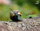 Snail photograph, animal print, snail in garden, Nursery decor, Green and brown, 8x10, titled: I am n a hurry
