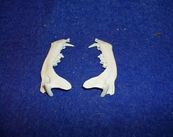 2 skunk jaw bones real animal skull taxidermy skeleton head parts