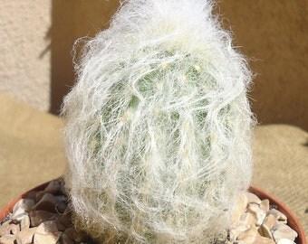 Peruvian Old Lady Cactus Espostoa Melanostele