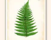 Botanical Art Print ANTIQUE FERN Plate 23 Reproduction 8x10 inches