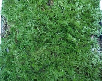 Live Sphagnum Moss Quart Bag For Vivarium Terrarium Bog Garden Carnivorous