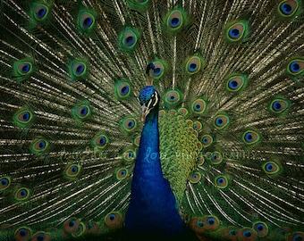 Proud Peacock Fine Art Photography Modern Emerald Green Cobalt Blue Bird Animal Feather Vibrant Bold Jewel Tones Home Decor Wall Art