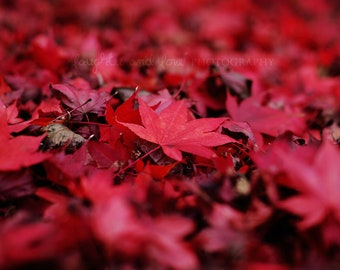 Red Leaves Fine Art Photography Autumn Fall Japanese Leaf Maple Minimalist Modern Vibrant Bold Rustic Home Decor Wall Art