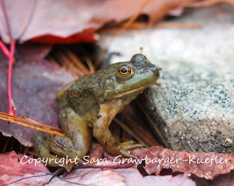 Frog Amongst Autumn Leaves - Fine Art Photograph - 5 x 7""