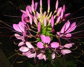1200 Seeds Cleome Clemone Beeplant Spider Plant Flower Mixed Color Queen B1038