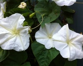 Moonflower Vine Seeds White Moonflower Impomea alba Fragrant Night Blooming Flowers on Vigorous Vines 12 Seeds