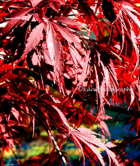 Wall Art Red Leaves : Red japanese maple leaves wall decor
