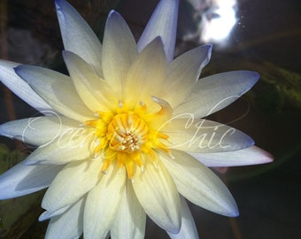 Water Lily Photo Print - Available in multiple sizes