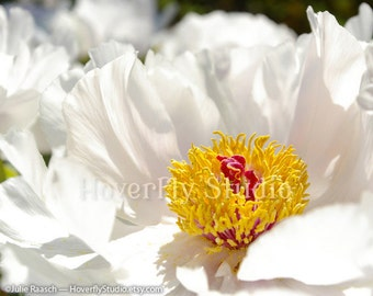 Peonies Flowers in Bloom - Homage to Georgia O'keeffe - Nature Photography
