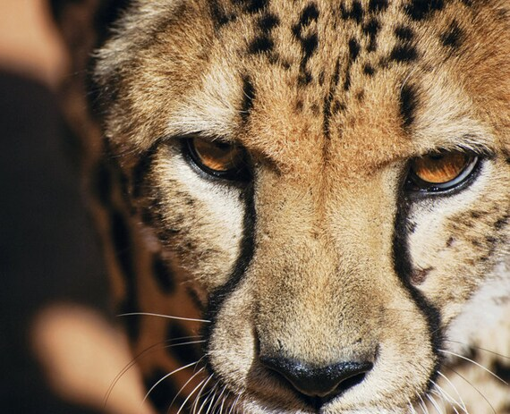 Cheetah Wall Art - African Wildlife Home Decor - Animal Art Fine Art Photography - Color Wildlife Print