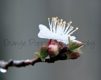 Apricot Blossom Photograph *choose your size*