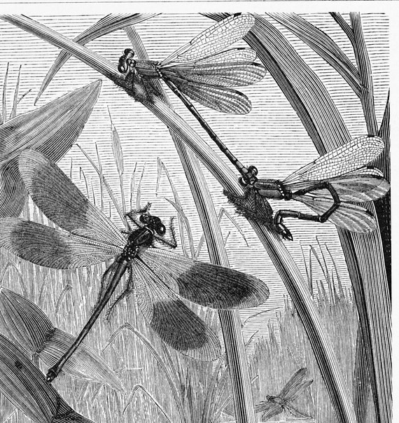 Dragonflies, damselflies in their natural environment : Antique 1890s engraving, ready to be framed