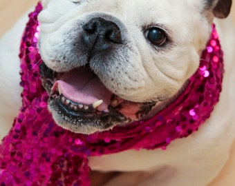Dog Smile - Dog Photo - English Bulldog wearing a sequin scarf - Fine Art Photography - Piper Stone - Rescue Dog - Dog with a cause