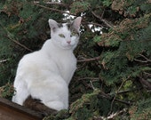 White cat and evergreens