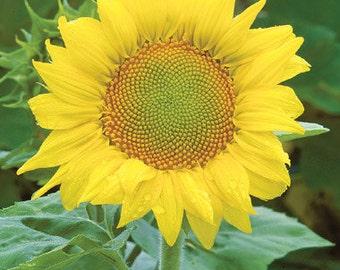 Sunflower Seeds - Zebulon  -  Helianthus annuus