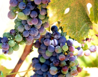 Wine Grapes Photography, Multicolored Grapevine Photo  Vinyard Purple Red Green Grapes Leaves 108
